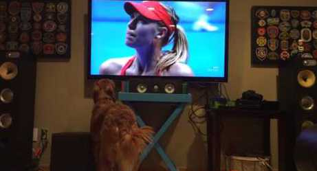 George the Golden Retriever Cannot Handle This Tennis Match