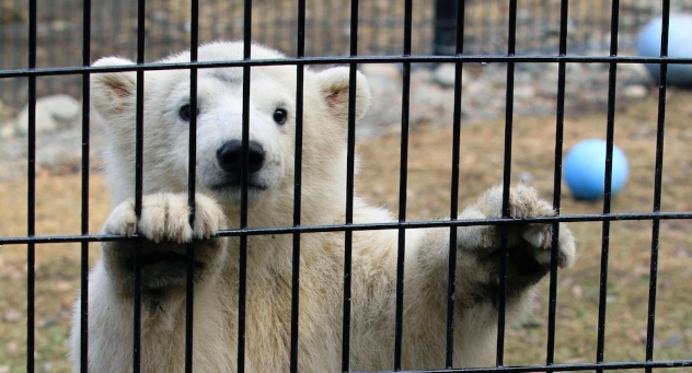 wild animals should not be caged and displayed for entertainment An animal in a cage is not entertainment we should not be teaching our kids to view animals that way and perpetrating that idea globally by giving our money to operations or anyone who is not an accredited zoo, preservation, or sanctuary and while i admittedly do not know what sort of criteria the us has for the latter, i think we should.